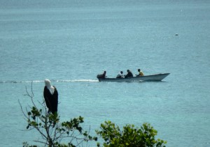 Sea Eagle with boat off Wasini Island