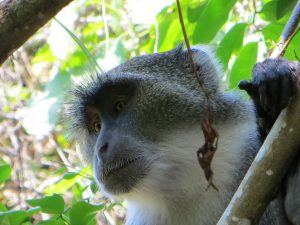 Blue Monkey on Wasini